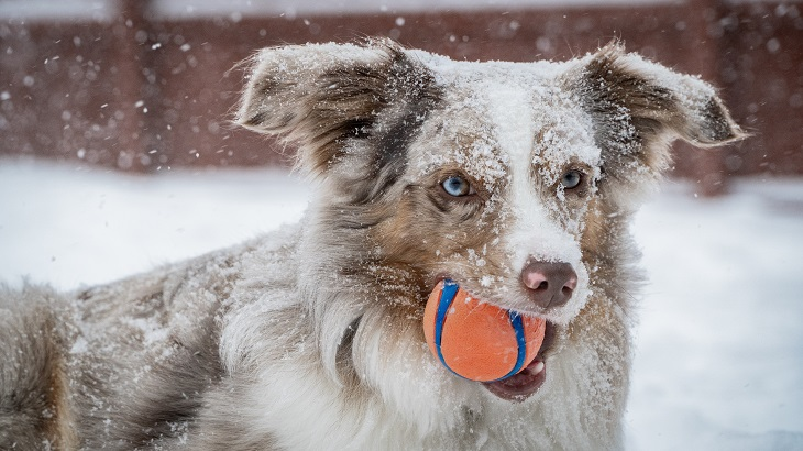 Moosh - dog with ball in winter